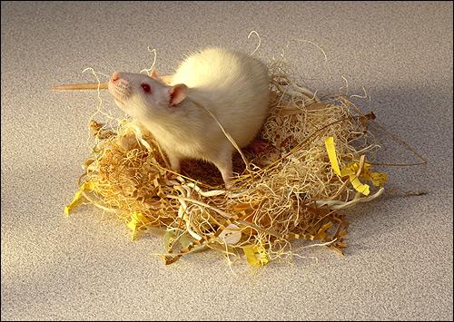 Крыса-альбинос. Фото, фотография картинка грызуны