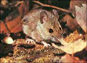 Лесная мышь (Apodemus sylvaticus, Sylvimus sylvaticus). Фото фотография картинка грызуны