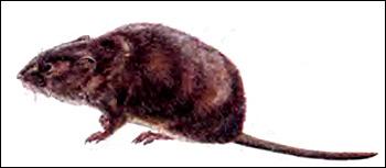 Водяная полевка, водяная крыса (Arvicola terrestris). Рисунок, картинка грызуны