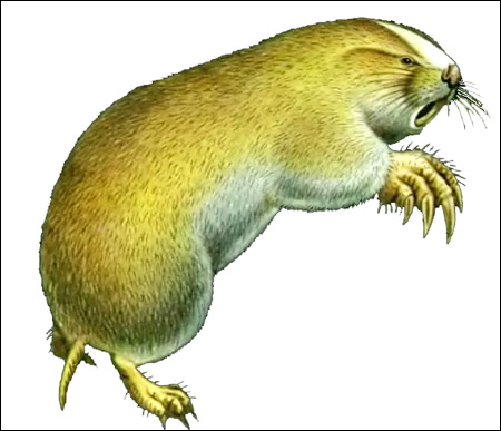 Алтайский цокор (Myospalax myospalax). Рисунок, картинка грызуны
