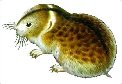 Копытный лемминг, ошейниковый лемминг (Dicrostonyx torquatus). Рисунок, картинка грызуны