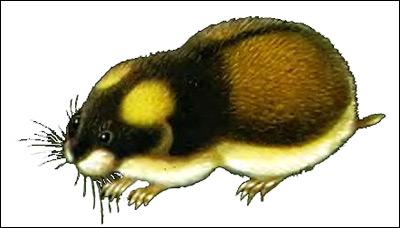 Норвежский лемминг (Lemmus lemmus). Рисунок, картинка грызуны
