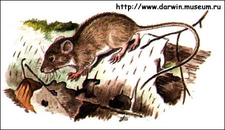 Лесная мышовка (Sicista betulina). Рисунок, картинка грызуны