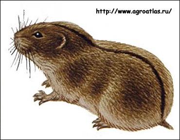 Степная пеструшка (Lagurus lagurus). Рисунок, картинка грызуны