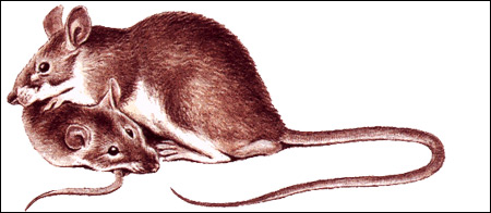 Туркестанская крыса (Rattus turkestanicus), рисунок картинка грызуны