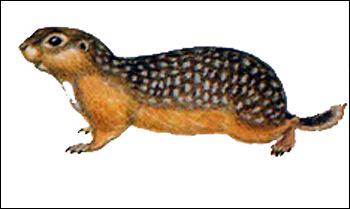 Крапчатый суслик (Citellus suslicus). Рисунок, картинка грызуны