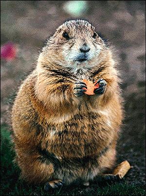 Степной сурок, байбак (Marmota bobak). Фото, фотография картинка грызуны