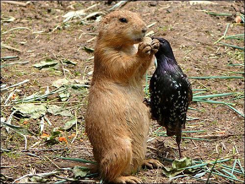 Сурок и птичка, пытающаяся забрать у него еду. Фото, фотография смешная картинка животные
