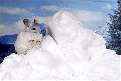 Шиншилла на снегу. Фото, фотография картинка грызуны