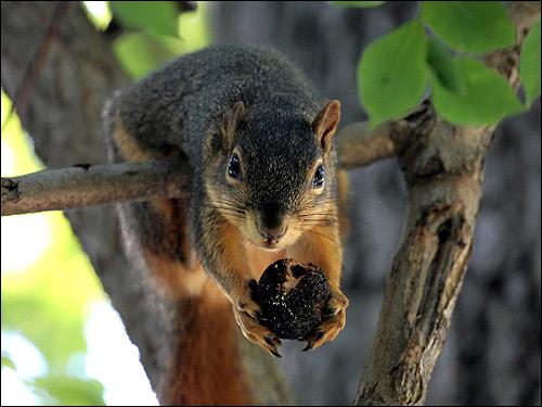 Белка держит в передних лапках орех. Фото, фотография картинка грызуны