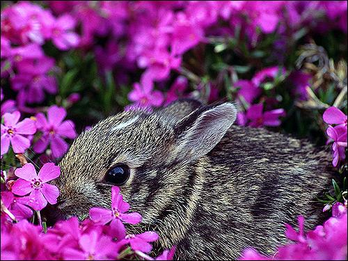 Детеныш флоридского кролика. Фото, фотография картинка животные