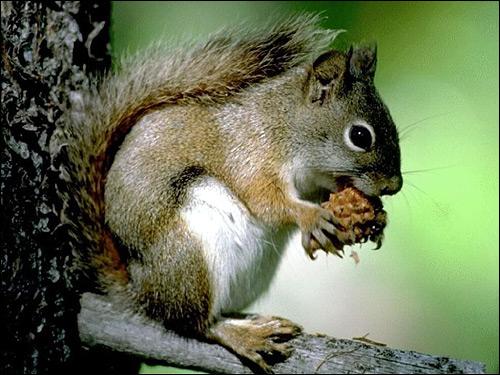 Белка, грызущая орех. Фото, фотография картинка грызуны
