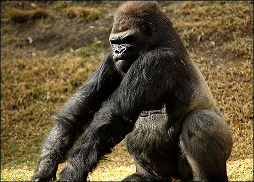 Самец гориллы. Фото, фотография картинка приматы