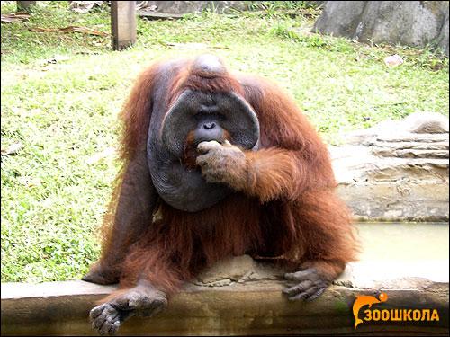 Орангутан, орангутанг (Pongo pygmaeus). Фото, фотография картинка приматы