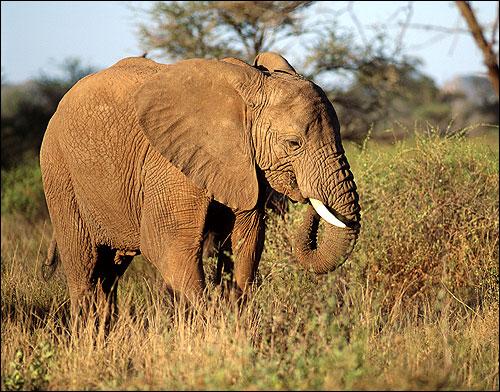 Слоненок. Фото, фотография картинка хоботные животные