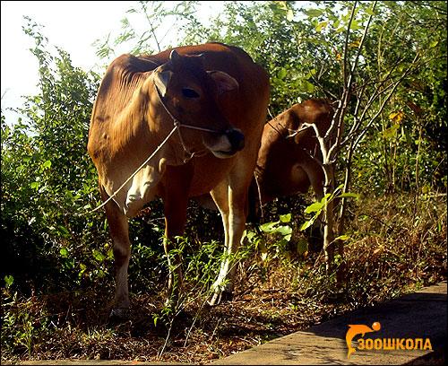 Домашняя корова. Фото, фотография картинка копытные животные