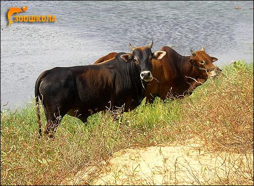 Домашние коровы. Фото, фотография картинка копытные животные