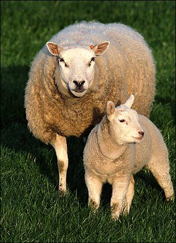 Домашняя овца с ягненком. Фото, фотография картинка