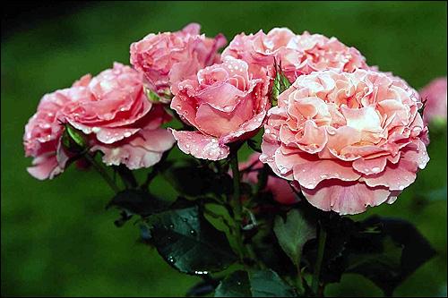 Букет роз. Фото, фотография цветы