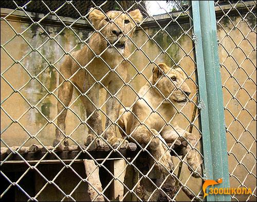 Молодые львы (Panthera leo). Фото, фотография картинка хищники