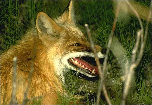 Лисица рыжая, обыкновенная лисица (Vulpes vulpes). Фото, фотография картинка хищные звери
