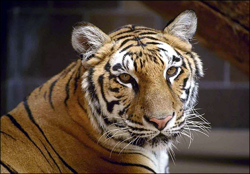 Тигр (Panthera tigris). Фото, фотография картинка хищные звери