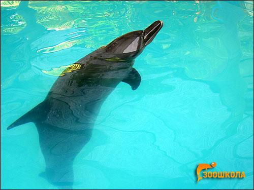 Бутылконосый дельфин, афалина (Tursiops truncatus). Фото, фотография картинка киты