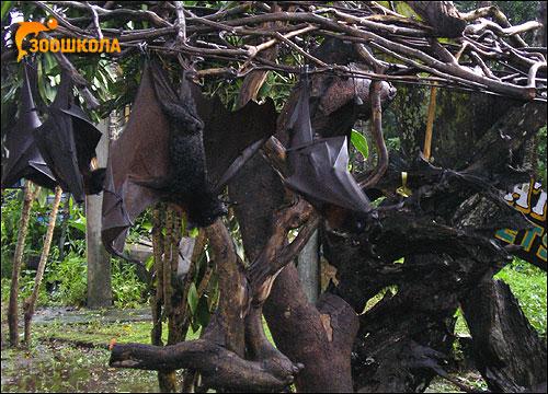 Летучие лисицы (Pteropus). Фото, фотография картинка