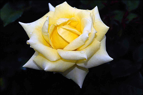 Желтая роза на черном фоне. Фото, фотография цветы