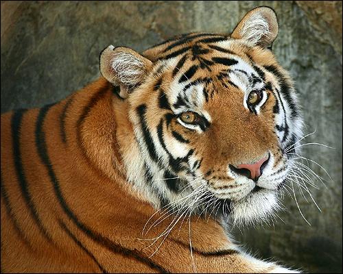 Тигр. Фото, фотография картинка хищные звери