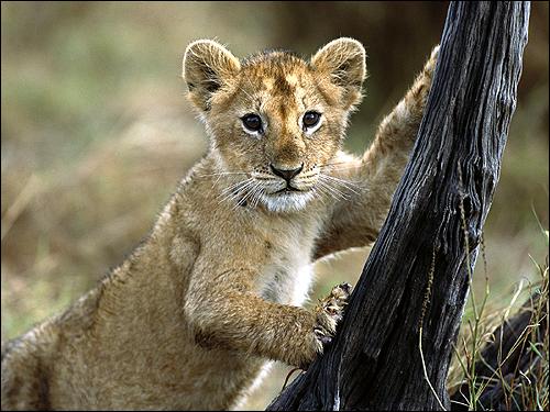 Львенок. Фото, фотография картинка хищные звери