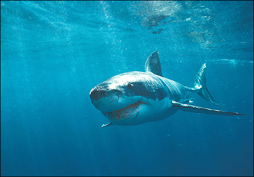 Акула. Фото, фотография картинка рыбы