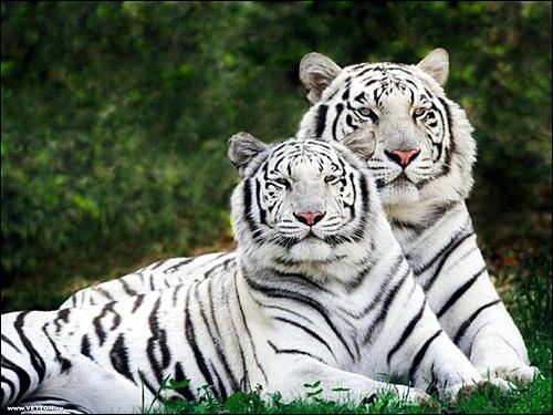 Белые бенгальские тигры (Panthera tigris bengalensis). Фото, фотография картинка хищные звери