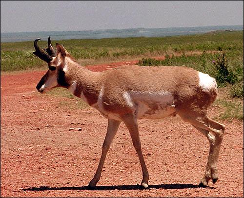 Вилорог (Antilocapra americana). Фото, фотография картинка копытные животные