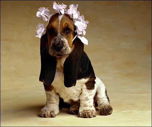 Щенок бассет-хаунда, Фото фотография собаки картинка