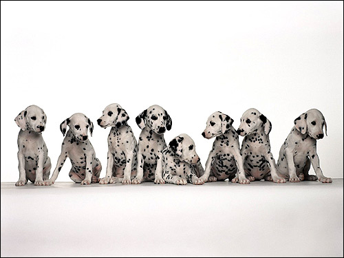 Восемь щенков далматина далматинца, Фото фотография собаки картинка