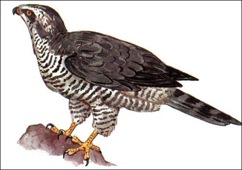 Малый ястреб, перепелятник (Accipiter nisus), Рисунок картинка хищные птицы