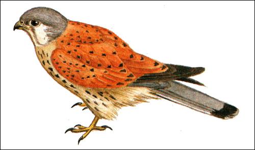 Пустельга (Falco tinnunculus), Картинка рисунок хищные птицы