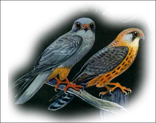 Кобчик (Falco vespertinus), Рисунок картинка хищные птицы