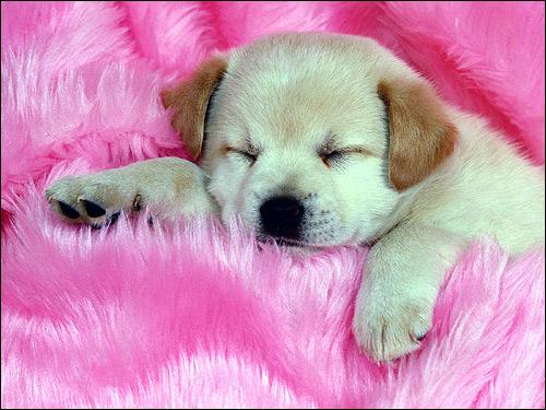 Спящий щенок лабрадора ретривера, Фото фотография собаки картинка