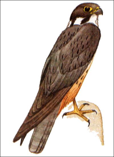 Чеглок (Falco subbuteo), Рисунок картинка хищные птицы
