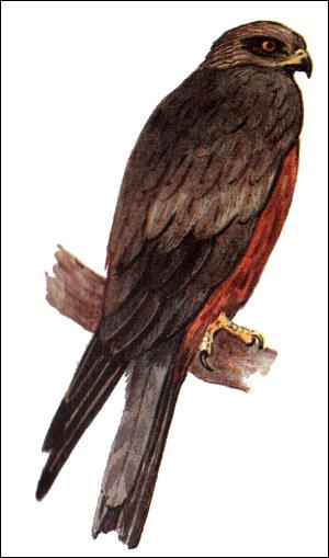 Черный коршун (Milvus migrans), Картинка рисунок птицы