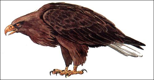 Орлан-белохвост (Haliaeetus albicilla), Рисунок картинка птицы