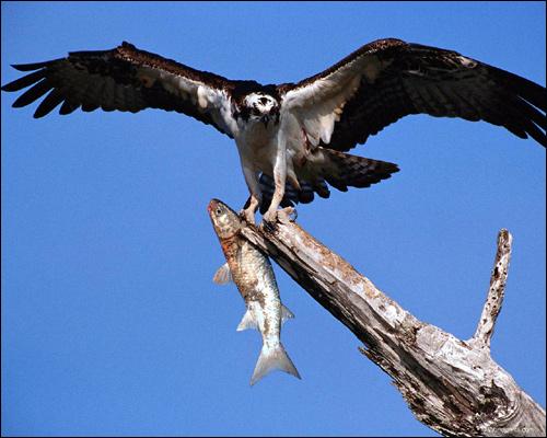Скопа (Pandion haliaetus), Фото фотография картинка хищные птицы
