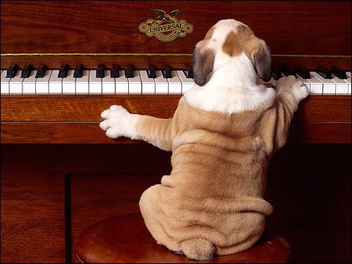 Щенок английского бульдога за пианино, Фото фотография собаки картинка