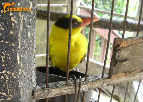 Желтая птичка, Фото фотография картинка птицы