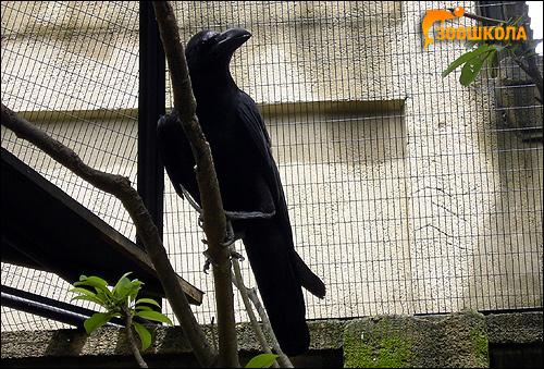 Большеклювая ворона (Corvus macrorhynchos), Фото фотография картинка птицы