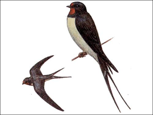 Городская ласточка (Hirundo urbica), Рисунок картинка птицы