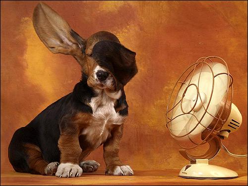 Щенок бассет-хаунда около вентилятора, Фото фотография картинка собаки