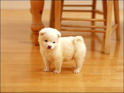 Беленький щенок, белый щеночек, Фото фотография собаки